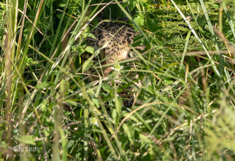 African Leopard, Panthera pardus, hides in the grass at Ngorongoro Conservation Area, Tanzania