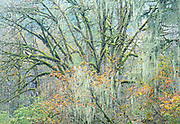 Autumn forest tapestry, North Cascades, Washington