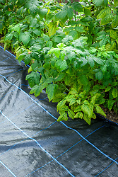 Weed control. Mypex used to suppress weeds in a fruit cage