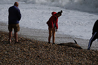dead dolphin washes up ad Storm Francis hits chesil beach Dorset,  with gusts reaching almost 80mph photo by Michael Palmer