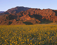 """CADDV_045 - USA, California, Death Valley National Park, Sunset warms huge field of desert sunflower blooming beneath the Black Mountains. A very wet winter produced this rare """"hundred year bloom""""."""