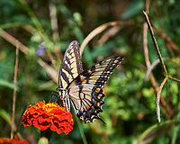 Eastern Tiger Swallowtail butterfly on a Marigold flower. Image taken with a Nikon Df camera and 70-300 mm VR lens