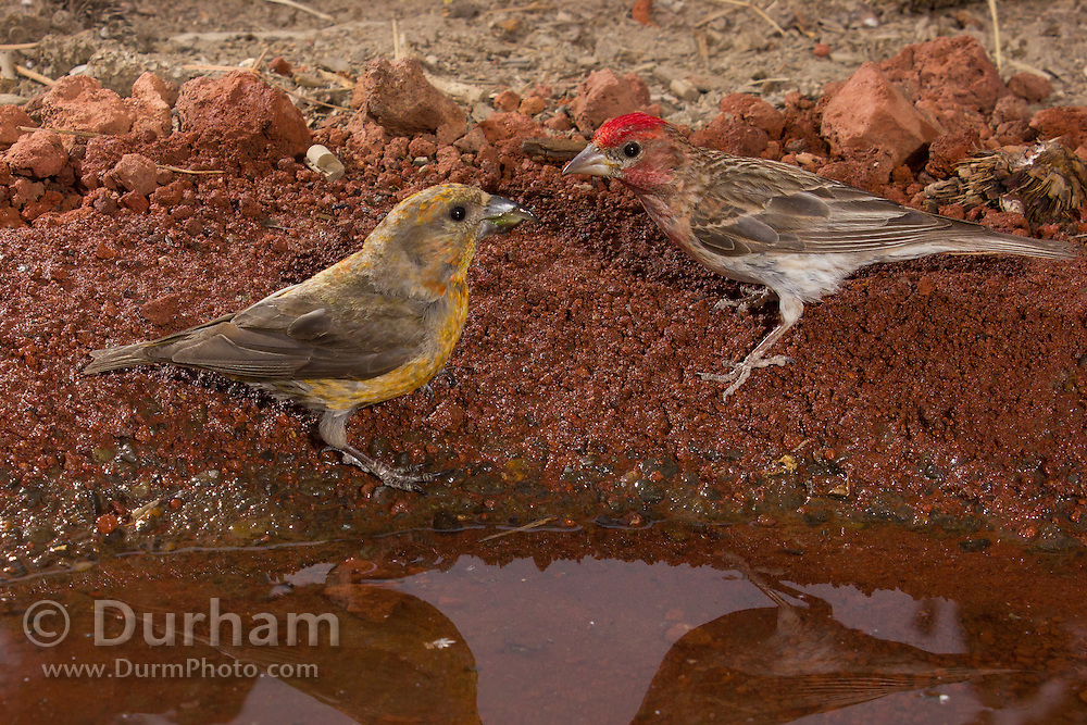 Two color morphs of red crossbills (Loxia curvirostra) at a desert watering hole in central Oregon.