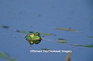 02471-00318 Bullfrog (Rana catesbeiana) in wetland Marion Co. IL