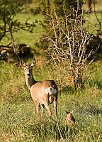 Roe deer (Caprelous caprelous), Matsalu Bay Nature Reserve, Estonia