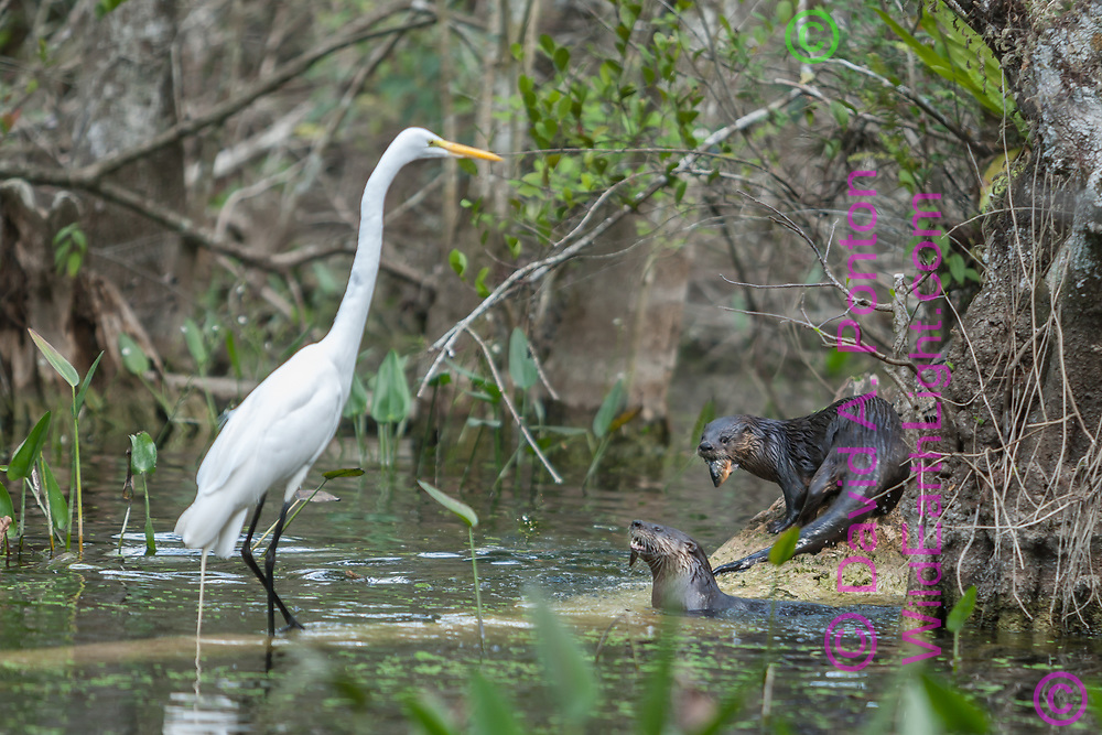 River otters eating fish, great egret approaches to try to snatch a share, Big Cypress National Preserve, FL, © David A. Ponton