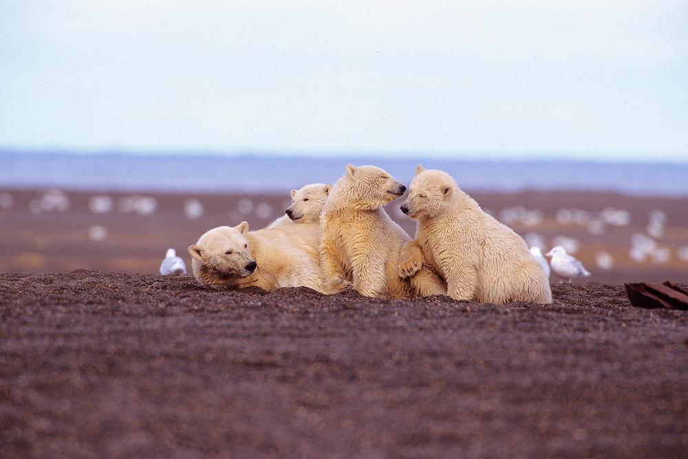 Polar Bear (Ursus maritimus) sow with three cubs is rare, North Slope, Alaska.