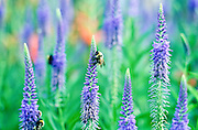 Bees gather nectar from blossoming Speedwell
