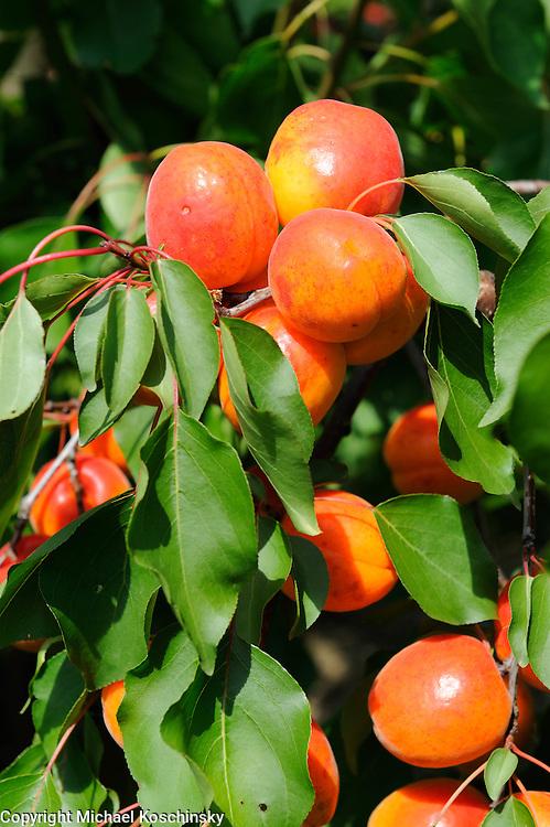 Apricots at the fruitfarm Eichenebrger, Uhwiesen, Switzerland