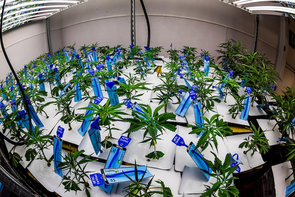 Super Skunk Baby Vegetive Clones (marijuana plants), Sticky Buds, Denver, Colorado USA.