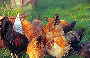 A08AJ2 Free range chickens pecking at their feed