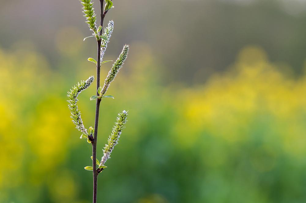 Willow catkins (Salix species), April, afternoon light, Clallam County, Olympoc Peninsula, Washington, USA