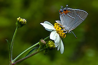 Gray hairstreak in the Fakahatchee Strand in the middle of summer. Roadside wildflowers attract thousands of these little butterflies every morning!