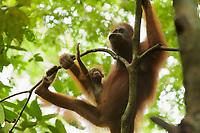 Adult female Walimah with one month old infant.<br /><br />Bornean Orangutan <br />Wurmbii Sub-species<br />(Pongo pygmaeus wurmbii)<br /><br />Gunung Palung Orangutan Project<br />Cabang Panti Research Station<br />Gunung Palung National Park<br />West Kalimantan Province<br />Island of Borneo<br />Indonesia