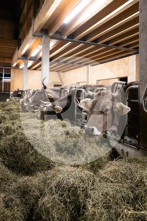 SCHWEIZ - HALLWIL - Hornkühe fressen Heu auf dem Haldenhof - 11. Dezember 2019 © Raphael Hünerfauth - http://huenerfauth.ch