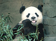 Mei Xiang , one of the new pandas at the Washington Zoo in February 2001<br />Photo by Dennis Brack