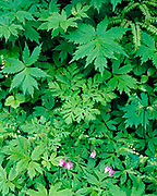 Western Bleeding Heart, Dicentra Formosa, blooming in the Columbia River Gorge National Scenic Area, Mount Hood National Forest, Oregon.