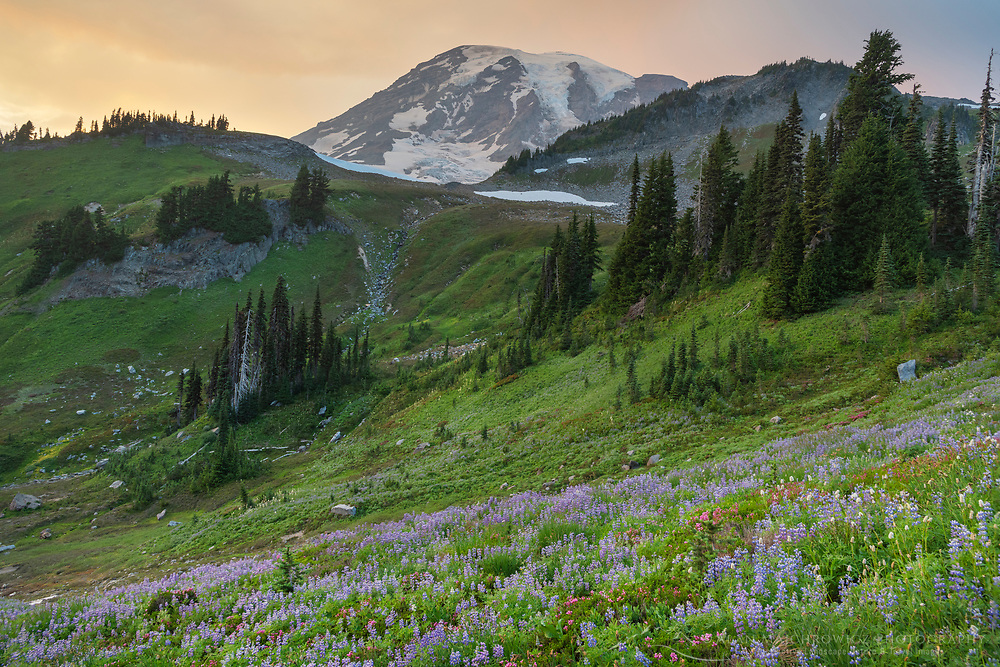 Wildflower meadows of Paradise containing  a mixture of Broadleaf Lupines, and American Bistort. Mount  Rainier National Park, Washington
