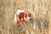 French Brittany Spaniel locked up on point during a pheasant hunt in South Dakota