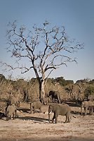 A herd of Kalahari Elephants in Chobe National Park Botswana
