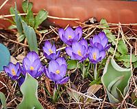 Purple Crocus. Image taken with a Nikon N1V3 camera and 70-300 mm VR lens