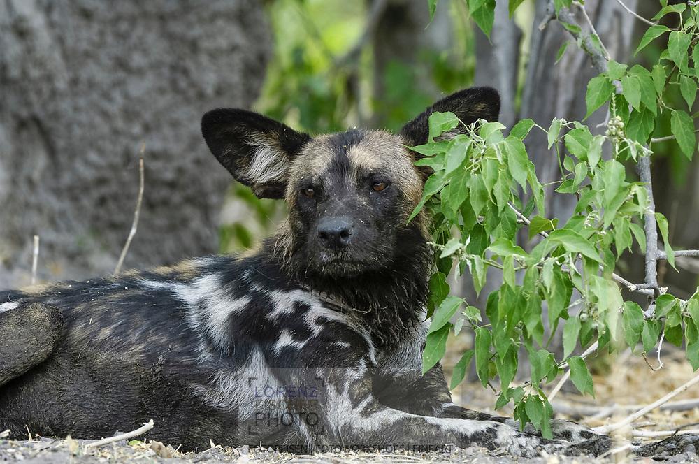 Wildhunde im Moremi Game Reserve von Botswana in der Region North Gate