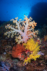 Typically brilliant reef scenery for Fiji, Dendronepthya and Chironepthya soft corals and gorgonians perch on a steep slope.  Vatu-i-ra, Koro Sea, Fiji, Pacific Ocean