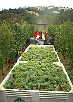 wine grapes being harvested in the Anderson Valley, near Philo, CA.