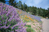 Figueroa Mountain Road lined with wildflowers in the spring, Santa Ynez, California.