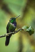 Purple-bibbed whitetip (Urosticte benjamini)<br /> Western slopes of Andes<br /> Andes<br /> ECUADOR, South America<br /> Habitat & Range: Native to Colombia, Ecuador and Peru