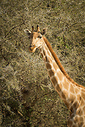 Giraffe, The Kaokoveld Desert, Kaokoland, Northern Namibia, Southern Africa