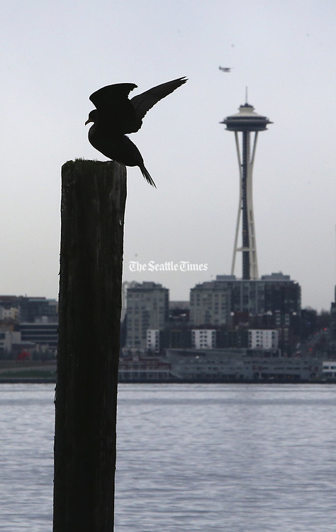 With the Space Needle in the background, a double-crested cormorant prepares to take flight after drying its wings in West Seattle. (Ken Lambert / The Seattle Times)