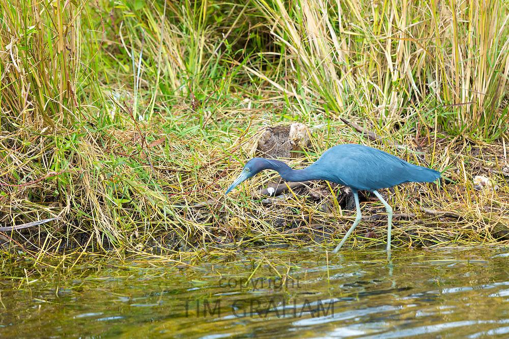 Little Blue Heron, Egretta caerulea, fishing in creek along Tamiami Trail in the Florida Everglades, United States of America