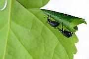 Birch leaf-roller (Deporaus betulae) , The Biosphere Reserve 'Niedersächsische Elbtalaue' (Lower Saxonian Elbe Valley), Germany (sequence 4/8) | Nach der Paarung, dem Anbeißen und Welken des Birkenblattes beginnt das Weibchen des Birkenblattrollers oder Trichterwicklers (Deporaus betulae), hier oberhalb des Männchens zu sehen, mit dem Einrollen der einen Blatthälfte, um einen Trichter zur Eiablage zu formen. Das Männchen hilft nicht sondern hält lediglich andere Männchen fern.