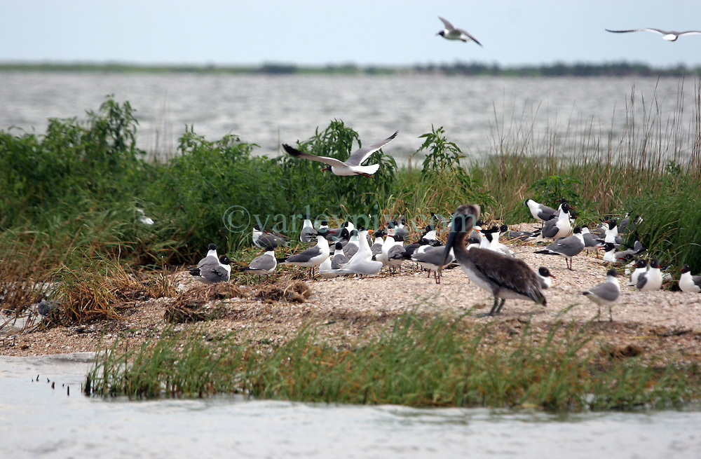 26 May 2010. Grand Isle, Lafourche Parish, Louisiana. <br /> From Barataria Bay to Grand Isle. Cat Island, a prefered nesting ground for Pelicans, gulls and herons  is protected by boom but oil keeps seeping ashore.  The environmental and economic impact is devastating with shrimp boats tied up, vacation rentals and charter boat fishing trips cancelled the only business for shrimpers is loading and laying boom and working for big oil. Oil from the Deepwater Horizon catastrophe is evading booms laid out to stop it thanks in part to the dispersants which means the oil travels at every depth of the Gulf and washes ashore wherever the current carries it. <br /> Photo credit;Charlie Varley<br /> www.varleypix.com