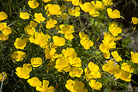 Mexican Gold Poppies (Eschscholtzia mexicana)  in the Anza Borrego Desert, California