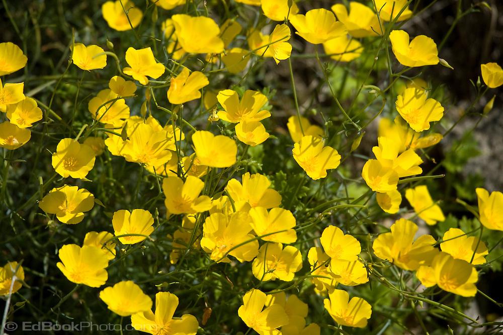 Mexican Gold Poppies (Eschscholtzia mexicana)  in the Anza Borrego Desert, California