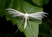 Close-up of a white plume moth (Pterophorus pentadactyla) resting on a leaf in a Surrey garden in summer