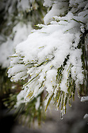 Fresh snow clings to a pine branch in the Bell's Neck Conservation Area