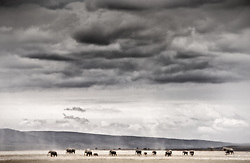 Elephant herd returning from the marsh in Amboseli, crossing the dry country in search of food.<br /> <br /> BIO: Beverly Joubert is an intuitive photographer rather than a technical one, a person who lives and breathes Africa and its wild open places filled with big cats and elephants, racing zebras or bubbling lava flows. National Geographic Explorer-in-Residence, just one of 14 people selected to represent this level of professionalism in the Society, she has specialized in African photography for nearly 30 years, with images in a dozen or more National Geographic Magazines, in 10 books, and thousands of articles around the world.<br /> <br /> Some would say that she and husband Dereck Joubert, are among the most famous wildlife filmmakers in the world, and in this pursuit she co-producers with Dereck and records sound. An equally important passion for Beverly is that of creating an image that tells a complete story in one instant, one frame; a story that is both a celebration of the sheer beauty and wonder of wildlife and also a window into its future.<br /> <br /> WEBSITE: beverlyjoubert.com<br /> INSTAGRAM: @beverlyjoubert