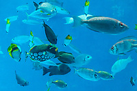 Various types of tropical fish thrive in Japan, and not only in Okinawa, but in the Ogasawara Island which has many marine reserves to protect its fish and wildlife. Some of these fish are rare, and found only in these waters, as it has been always cut off from the mainland, separated by 1000 kilometers of ocean.