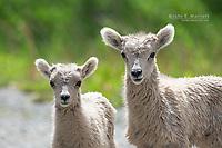 Bighorn sheep lambs