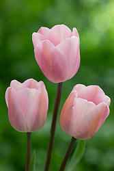 Tulipa 'Rosalie'
