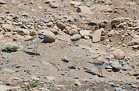 Collared plover, Charadrius collaris (left), and Least sandpiper, Calidris minutilla (right), on  the shore of the Tarcoles River, Costa Rica