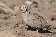 Montezuma Quail - Cyrtonyx montezumae - female