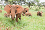 Herd of African elephants (Loxodonta africana). Photographed in Tanzania