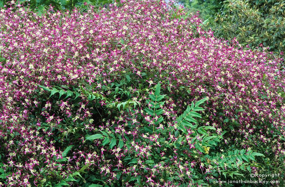 A scented combination of Clematis x triternata 'Rubromarginata' scrambling over a shrub - Mahonia x media 'Buckland'