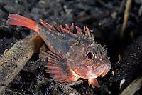 Unidentified Velvetfish