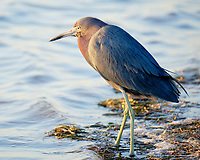 Little Blue Heron (Egretta caerulea). Fort De Soto Park. St. Petersburg, Florida. Image taken with a Fuji X-T2 camera and 100-400 mm OIS lens.