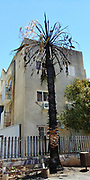 Burnt palm tree. Photographed in Nesher, Israel